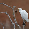 I took lots more pictures of this Cattle Egret with the frog, but they weren't suitable for a family-friendly site!