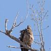 Immature Bald Eagle--very scruffy!