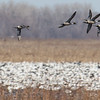 Pintails zipping by.