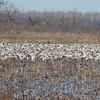Huge numbers of Snow Geese!