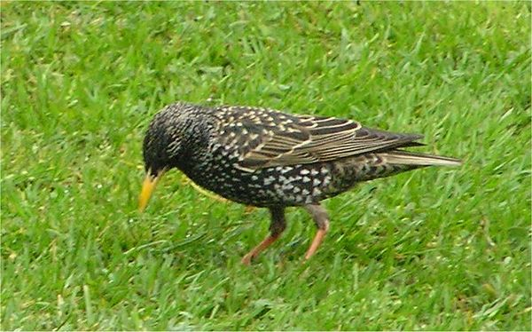 Starling Wokingham 2005