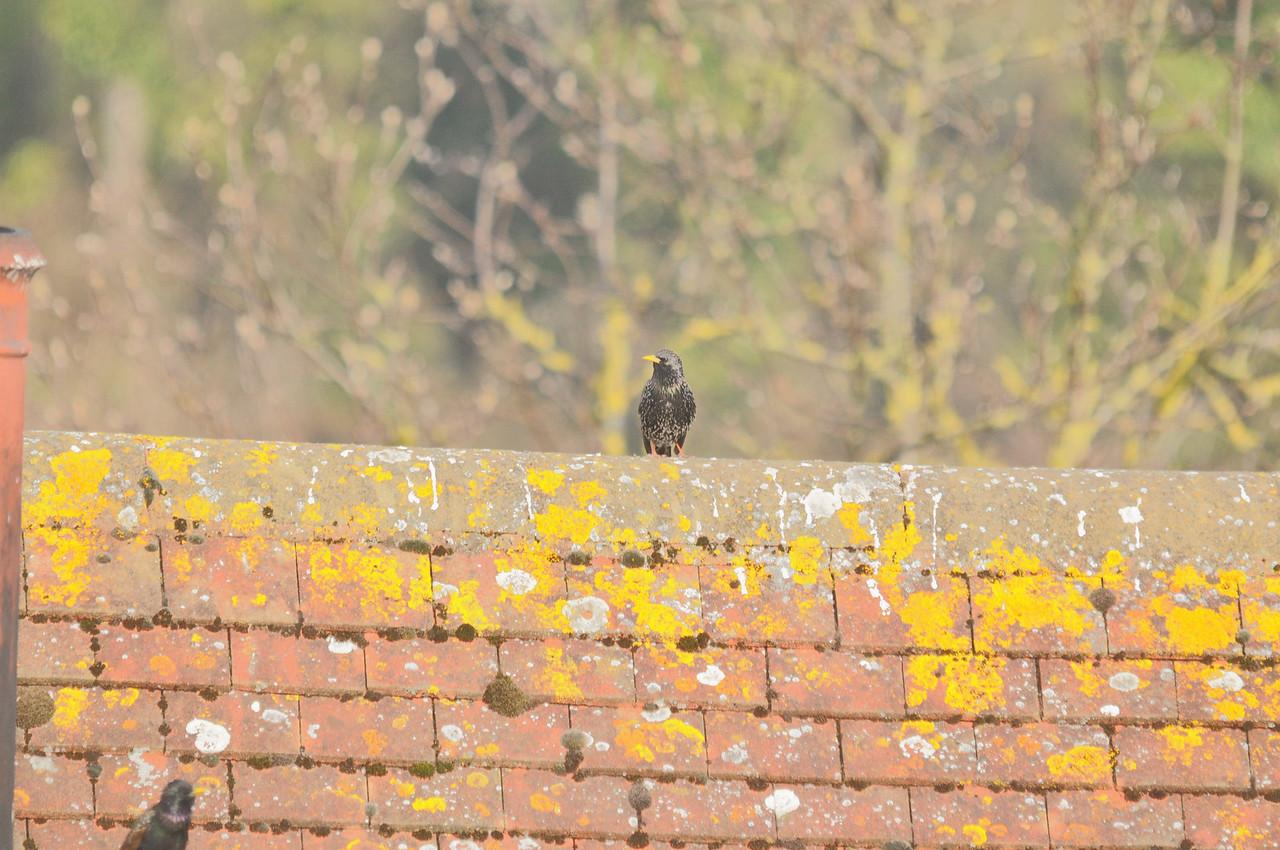 Starling, Berkhamsted, July 2012
