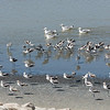 American Avocets (with a fews gulls mixed in)