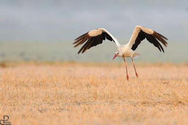 Storks - חסידות