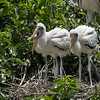 Wood Storks (youngsters)