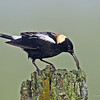 Male Bobolink with recently caught caterpillar.  Taken near Beaver Iowa