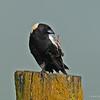 Bobolink near Beaver Iowa on 6/6/2014 Caught in a pose picking his beak