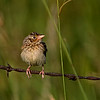 Juv. Grasshopper Sparrow