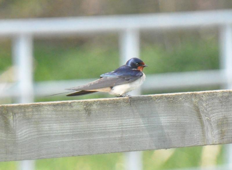 Swallow Flamborough April 2011