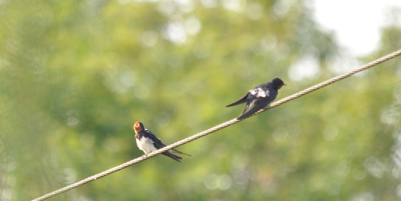 Swallow Sara and Paul house Sept 4 2011