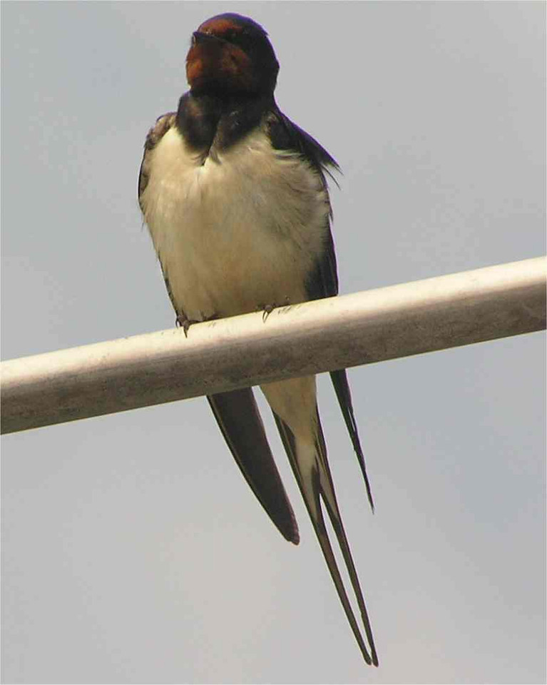 Swallow , Hinkley, Norfolk May 2006