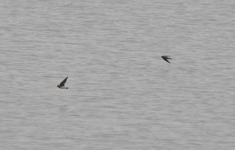 Swallow Marsworth April 2011