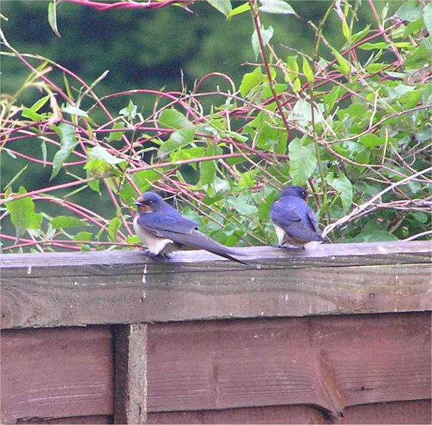 Swallow Symonds Yat May 2006