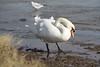 Mute Swan - Cygnus olor (264)