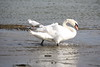 Mute Swan - Cygnus olor (263)