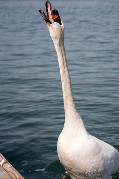 Swan's call