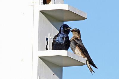 Swallows & Nighthawks
