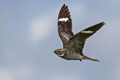 Common Night-Hawk