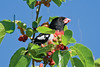 Rose-breasted Grosbeak, Mulberry Tree,<br /> Galveston Island State Park, Texas