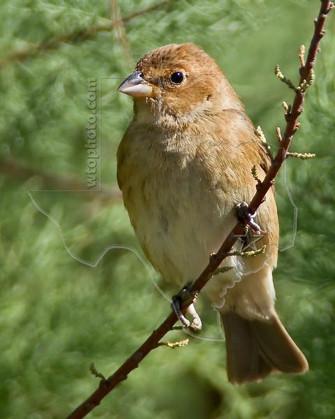 Indigo Bunting, Female,<br /> Quintana Neotropical Bird Sanctuary, Quintana, Texas