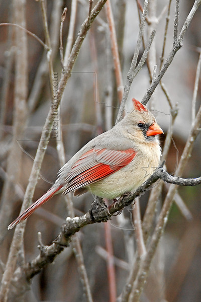 Northern Cardinal, Female,<br /> Brazos Bend State Park, Texas