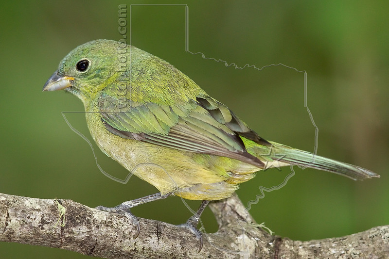Painted Bunting, Female,<br /> Lafitte's Cove, Galveston, TX