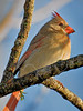 Northern Cardinal, Female, Sunrise Light,<br /> Brazos Bend State Park, Texas