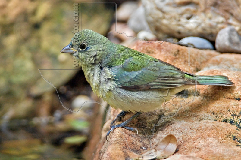 Indigo Bunting, Male, 1st Year,<br /> Quintana Neotropical Bird Sanctuary, Freeport, Texas