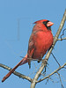 Northern Cardinal, Male<br /> Brazos Bend State Park, Texas