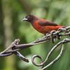 Crimson-backed Tanager (female)
