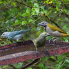 Buff-throated Saltator (with Blue-gray and Palm tanagers)