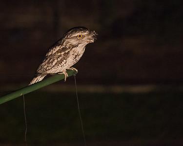 Tawny Frogmouth (Podargus strigoides) on the clothesline at home; 7-5-15. Photos by Des Thureson - http://disci.smugmug.com.
