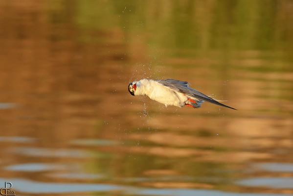 Terns - שחפיות