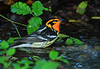 Blackburnian Warbler at High Island. Taken at 7:30 PM, in the fading light of dusk just before full darkness sets in, using flash. Many birders and photographers leave the Park long before this time and miss such scenes. Some of the nicely marked birds don't come out until the park is quiet, and this one had the best colors of the day for Blackburnians.