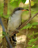 Yellow-billed Cuckoo, High Island BSW (Boy Scout Woods).