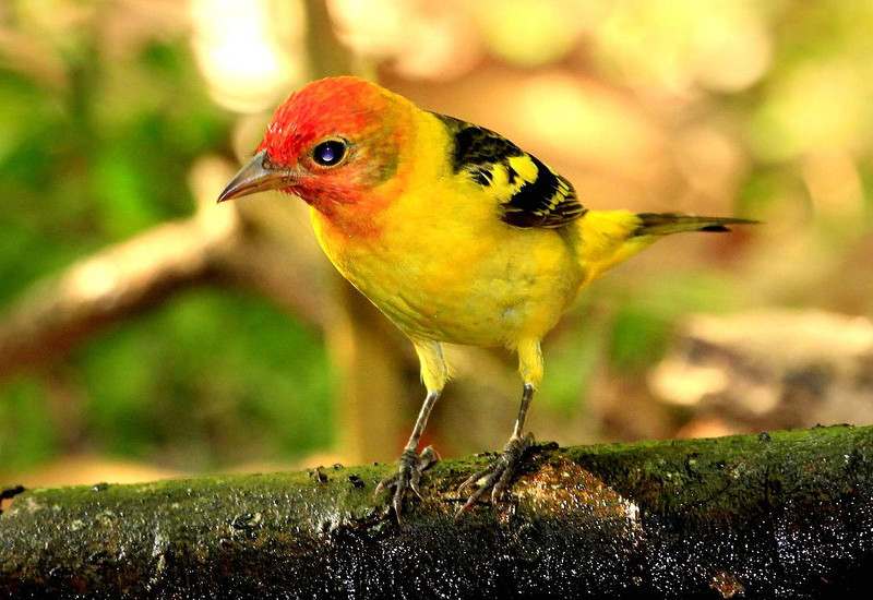 Western Tanager, High Island, Texas April 2011.