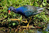 Adult Purple Gallinule, adjacent to 40 Acre Lake at Brazos Bend State Park, Texas. Distance was about 20 feet. Taken on June 11, 2011. I saw five or six that morning from distances inside 25 yards.
