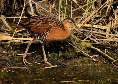 Clapper Rail, Anahuac NWR, April 2011