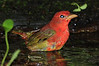First year Summer Tanager, High Island, Tx. April 2011