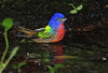 Painted Bunting, High Island.