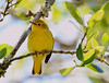This nearly grown male Yellow Warbler will get darker red streaks on its breast at full maturity.