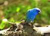 Indigo Bunting at High Island.