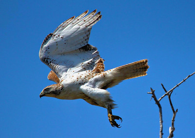 Immature Red-tailed Hawk, Anahuac NWR March 2011