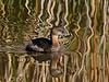 Pied-billed Grebe slowly cruising the lush waters of Brazos Bend State Park in late January 2011 before the drought hammered the Park. Water reflections are from tall, cane-like reeds in the background.