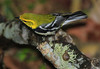 Black-throated Green Warbler, High Island, Texas.
