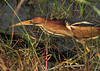 A Least Bittern that was very active on the day I was there at Anahuac NWR. April 22.