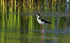 A Black-necked Stilt in the pond behind the on site Visitor Center (actually just a small shed for now) at the entrance Anahuac NWR.
