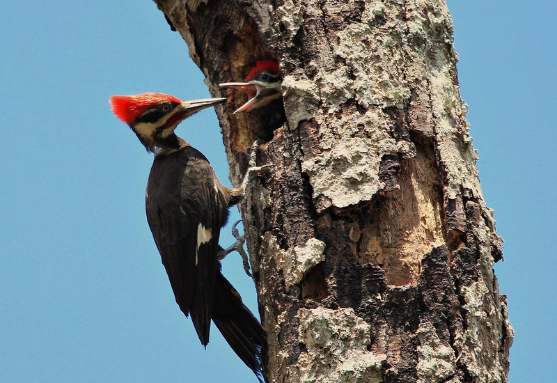 Pileated Woodpecker feeding young at Brazos Bend State Park, June 17, 2011. Nest was above the picnic tables at 40 Acre Lake at Brazos Bend State Park. Working off a tip from another photographer, I waited about an hour for the adult to return with food.