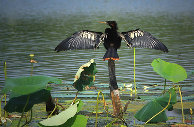 An Anhinga at Brazos Bend. Evolution may have misfired a little here. Anhingas fish underwater and spend a lot of time submerged or nearly so, yet their feathers are not water resistant. As a result they spend much time holding out their wings in the sun and cannot fly until somewhat dried out. What would Darwin say?