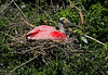 Roseate Spoonbill on its nest at High Island Rookery, May 6, 2011